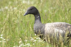 Brent Goose in a meadow. Portrait of a Brent Goose in a meadow. The Brent Goose is a small goose species stock images