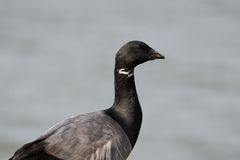 Brent Goose Royalty Free Stock Photos