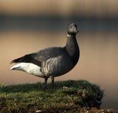 Brent Goose Standing On Grass-Büschel stockfoto
