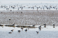 Brent gooses in wadden sea Stock Photography