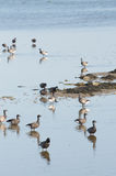 Brent gooses in wadden sea Royalty Free Stock Photos