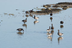 Brent gooses in wadden sea Royalty Free Stock Image