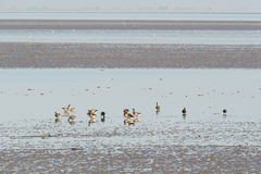 Brent gooses in wadden sea Royalty Free Stock Photography