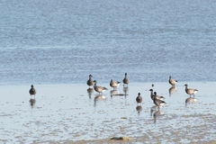 Brent gooses in wadden sea Stock Photo