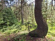 Brent Tree Trunk photos stock
