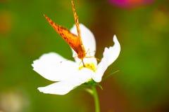 Brenthis在白花的daphne蝴蝶 库存照片