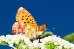 brenthis蝴蝶daphne贝母使有大理石花纹 库存照片