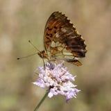 Brenthis daphne,使有大理石花纹的贝母蝴蝶 库存图片