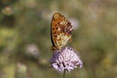 Brenthis daphne,从南法国的使有大理石花纹的贝母 库存图片