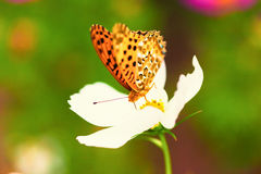 Brenthis daphne butterfly on white cosmos flower. Brenthis daphne, Marbled fritillary, butterfly on white cosmos flower, Japan royalty free stock image