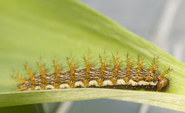 Brenthis daphne - caterpillar. Brenthis daphne - beautiful butterfly caterpillar on the leaf of lily of the valley royalty free stock photo
