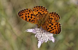 Brenthis daphne, Marbled Fritillary Stock Images