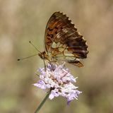 Brenthis daphne, Marbled Fritillary butterfly. From Western Europe stock images