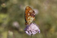 Brenthis daphne, Marbled Fritillary from Southern France. Europe stock image