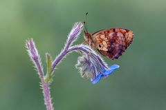 Brentis Daphne butterfly royalty free stock photography
