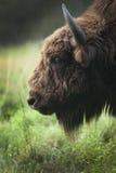 Brest bison Stock Photo