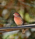 Brested rouge Robin Photographie stock