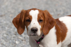 Bretón del perrito Fotografía de archivo libre de regalías