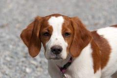 breton щенок стоковая фотография rf
