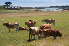 Breton cows grazing near the sea Stock Photos