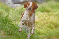 Breton dog running Royalty Free Stock Photos