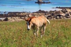 Breton föl för drag i ett fält i Brittany Arkivbild
