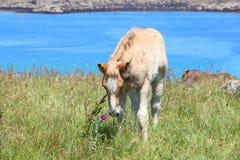 Breton föl för drag i ett fält i Brittany Arkivfoto