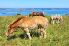 Breton föl och hästar för drag i ett fält i Brittany Arkivbilder