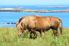 Breton hästar för drag i ett fält i Brittany Arkivfoto