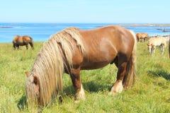 Breton hästar för drag i ett fält i Brittany royaltyfri bild
