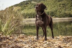 Breton hunting dog. In the middle of a hunt in the bush royalty free stock image