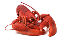 Breton lobster. Breton lobster on white ground royalty free stock photos