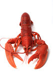 Breton lobster. Royalty Free Stock Photography