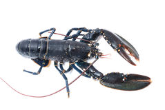 Breton lobster. Royalty Free Stock Images