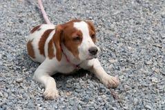 Breton puppy Royalty Free Stock Image