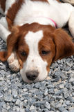 Breton puppy Stock Photography