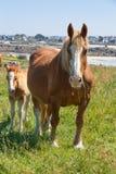 Breton sto för drag och hennes föl i ett fält i Brittany Royaltyfria Foton