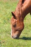 Bretonisches Pferd des Merkmals auf einem Gebiet in Bretagne lizenzfreie stockfotos