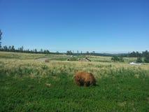 Brett öppna fältet med björnar Royaltyfri Foto
