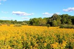 Brett vinkelfält av goldenrod Royaltyfri Foto