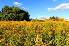 Brett vinkelfält av goldenrod Royaltyfri Bild