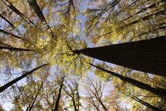 Brett vinkelfoto som tas från botten av träd i nedgång Royaltyfri Foto