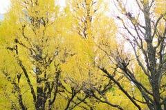 Brett vinkellandskap av det japanska Autumn Ginkgo trädet arkivfoto