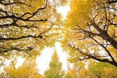 Brett vinkellandskap av det japanska Autumn Ginkgo trädet fotografering för bildbyråer
