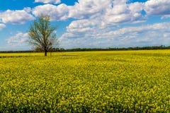 Brett vinkelskott av ett fält av gula blomningCanolaväxter som växer på en lantgård i Oklahoma med ett träd Royaltyfria Foton