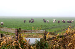 Bretterzaun auf Weide mit Schafen Lizenzfreie Stockfotos