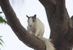 Brevard White Squirrel with black ears. Unusual Brevard White Tree Squirrel with black ears in tree in central Florida. Not an albino Royalty Free Stock Images