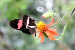Brevbärarefjäril på en blomma Arkivfoto