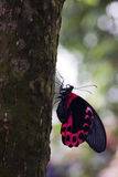 Brevbärarefjäril på treestammen Fotografering för Bildbyråer