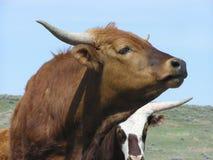 Breve bestiame del corno immagine stock